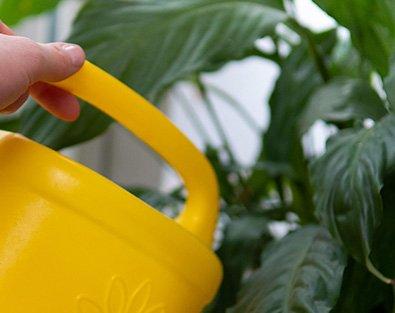 Gelbe Giesskanne bei Pflanze